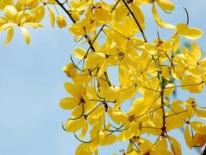குறிஞ்சிப்பாட்டில் 99 மலர்கள்:பட்டியல் நிறைவு பெற்றது ! - Page 5 28-amaltas-flowers300