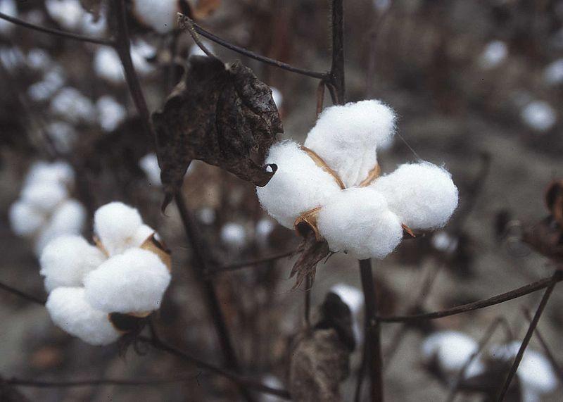 குறிஞ்சிப்பாட்டில் 99 மலர்கள்:பட்டியல் நிறைவு பெற்றது ! - Page 6 800px-CottonPlant