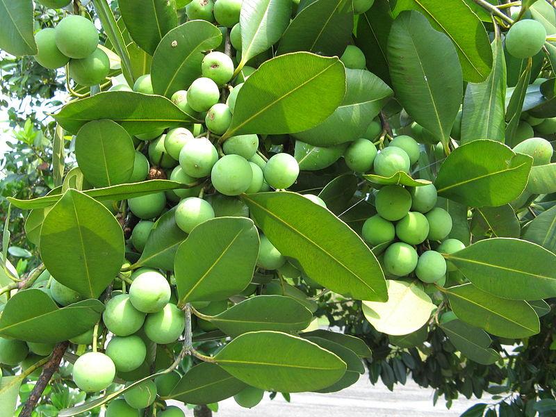 குறிஞ்சிப்பாட்டில் 99 மலர்கள்:பட்டியல் நிறைவு பெற்றது ! - Page 6 800px-Fruits_of_Calophyllum_brasiliense