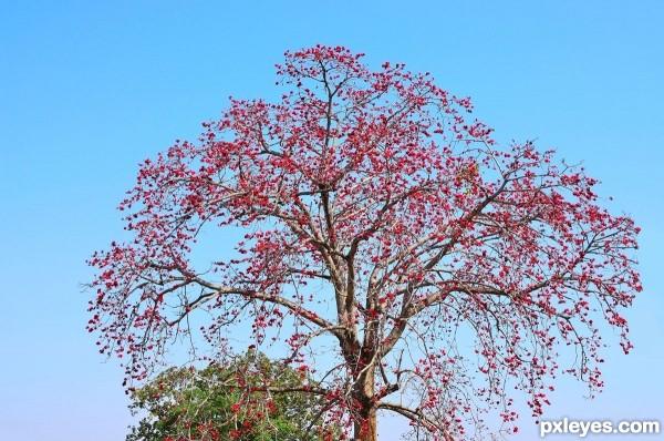 குறிஞ்சிப்பாட்டில் 99 மலர்கள்:பட்டியல் நிறைவு பெற்றது ! - Page 5 Red-silk-cotton-tree-Semal-Sem-4f59cb9fe20b0