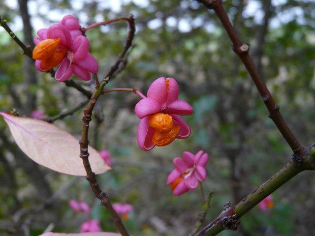 குறிஞ்சிப்பாட்டில் 99 மலர்கள்:பட்டியல் நிறைவு பெற்றது ! - Page 2 Spindle_tree_fruits_-_geographorguk_-_1025468