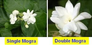 குறிஞ்சிப்பாட்டில் 99 மலர்கள்:பட்டியல் நிறைவு பெற்றது ! - Page 7 Horti_flower20crops_malligai_clip_image002-1