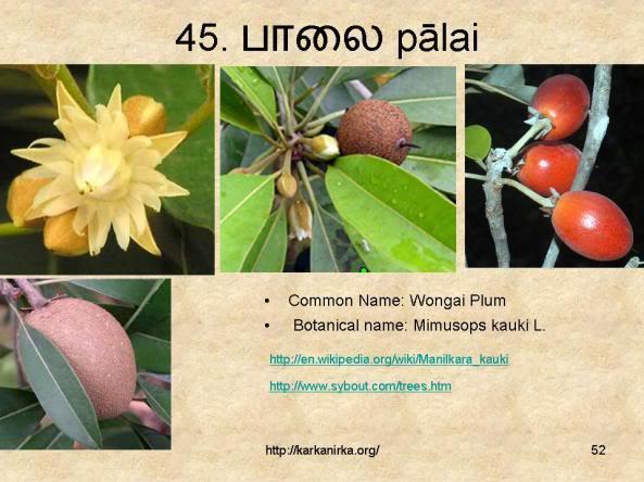 குறிஞ்சிப்பாட்டில் 99 மலர்கள்:பட்டியல் நிறைவு பெற்றது ! - Page 3 Slide52