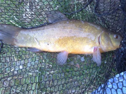 Anybody Catching? (not pike) Sycamorecarptench002-1