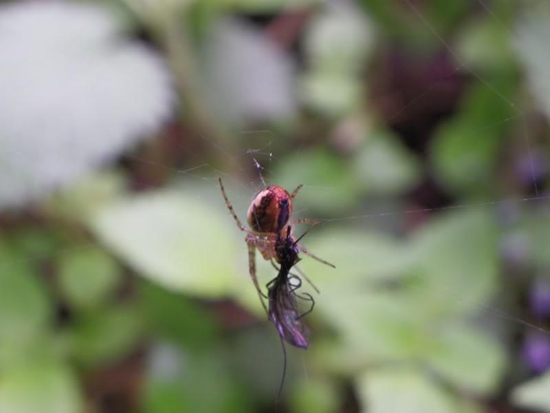 Slike insekata- buba - Page 2 IMGP0665-2