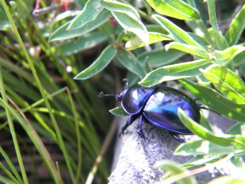 Slike insekata- buba P8160195