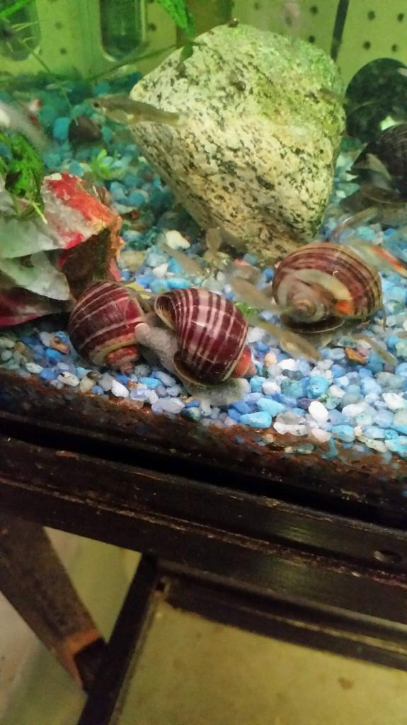 Free:  Apple/Mystery Snails 12-15-14
