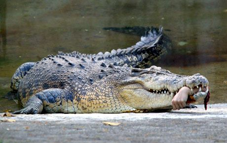 Guess What Ate Stefs Finger (Prize For The Best Answer) - Page 2 Crocodile20bite_zpsc23a402f