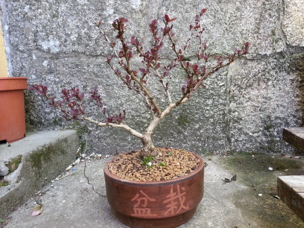 Bonsai con espinas 20130421_132938_zps6d67b28c