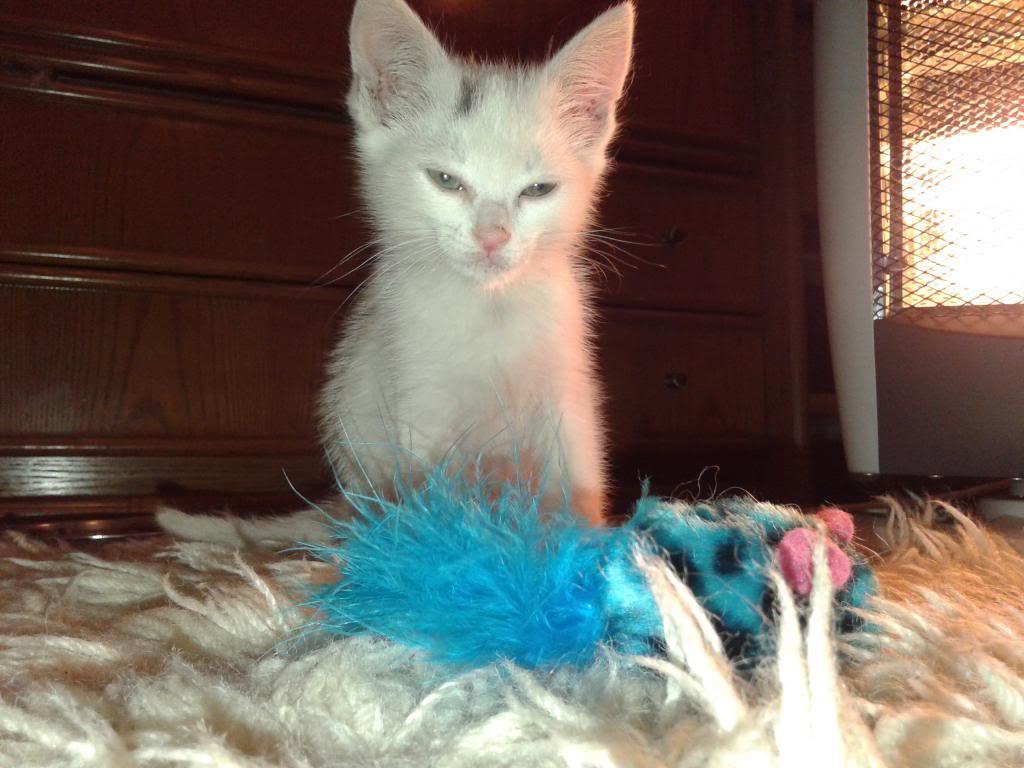 Χαρίζεται λευκή γατούλα με μπλε μάτια 1ος μήνα! Υιοθετήθηκε!!! 20140427_150430_zpse27b327a
