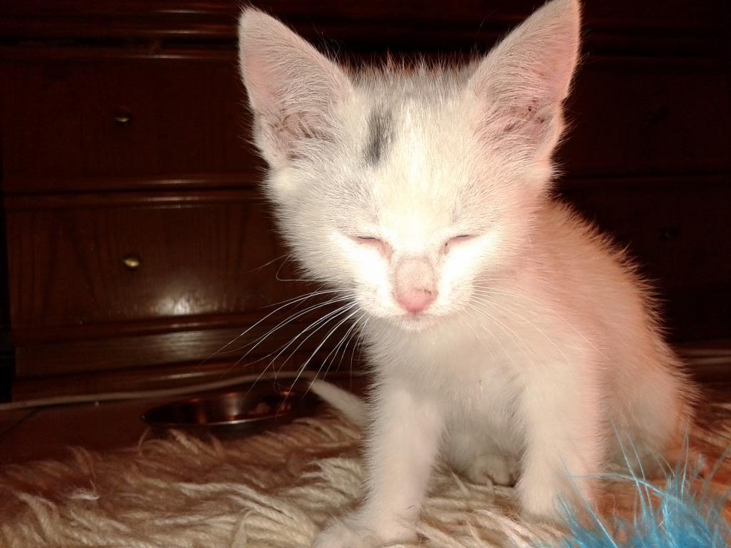 Χαρίζεται λευκή γατούλα με μπλε μάτια 1ος μήνα! Υιοθετήθηκε!!! 20140427_150451_zps2074fbe3