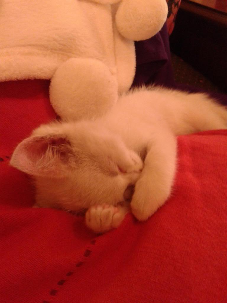Χαρίζεται λευκή γατούλα με μπλε μάτια 1ος μήνα! Υιοθετήθηκε!!! 20140428_150417_zpsb53a9528