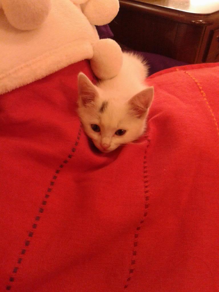 Χαρίζεται λευκή γατούλα με μπλε μάτια 1ος μήνα! Υιοθετήθηκε!!! 20140428_151955_zps43b023e3