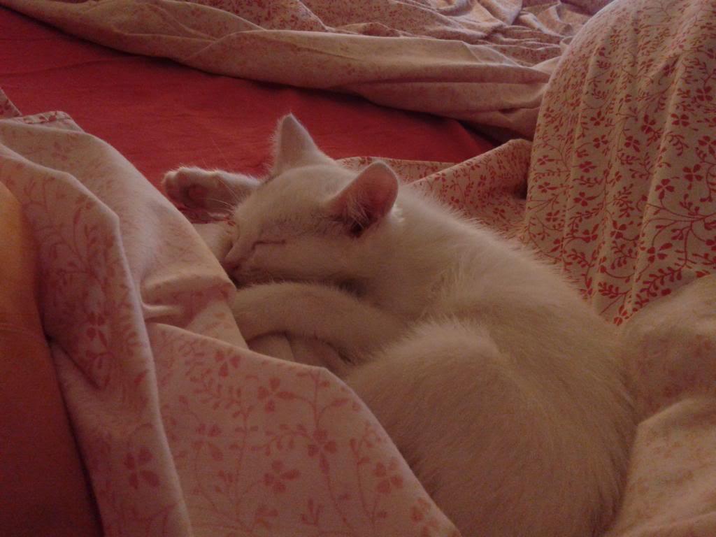 Χαρίζεται λευκή γατούλα με μπλε μάτια 1ος μήνα! Υιοθετήθηκε!!! 20140504_012232_zps969b0efc