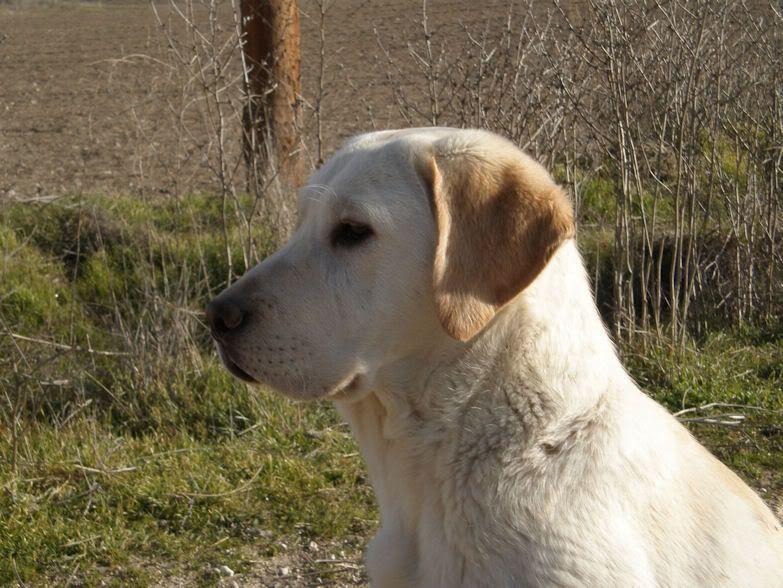 Fotos de Labradores - Página 2 FotoNeo