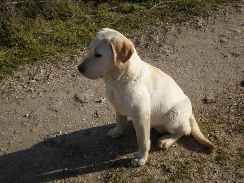 Fotos de Labradores - Página 2 FotoNeo2