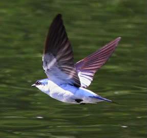 Chiếc Bóng của Giọt Nước Mắt - Page 7 Swallow-