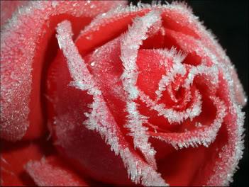 Chiếc Bóng của Giọt Nước Mắt - Page 4 Frozen-Rose-r