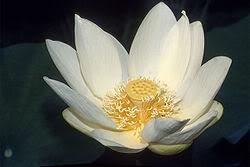 Quê Hương: Đẹp ngỡ ngàng! Nelumbo_lutea_blossom
