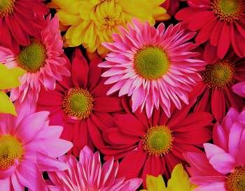 Hương Sắc Cuộc Đời - Page 5 Chrysanthemums