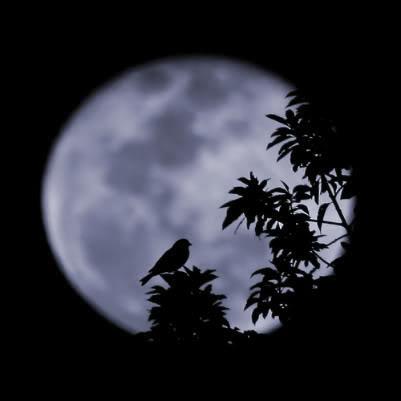 Chiếc Bóng của Giọt Nước Mắt Moonbird1