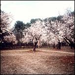 Un paseo bajo los cerezos# [Yuyuko] {Terminado}