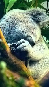 Koala Cariñoso