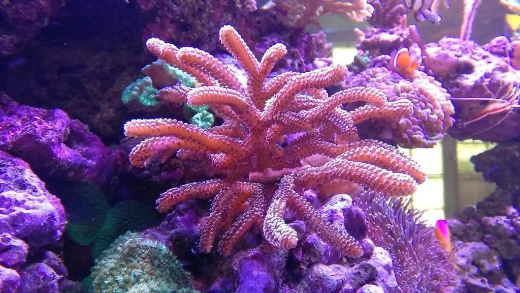 Blanchissement coraux ... IMG_20151006_115451_zpsknsihjjt