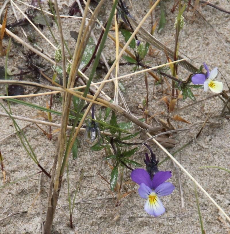 Promenade dans les dunes Flamandes Violettedecurtis_1