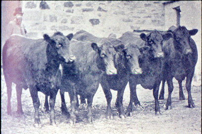After 50 years, you would have thought... Kinochtry_heifers-1