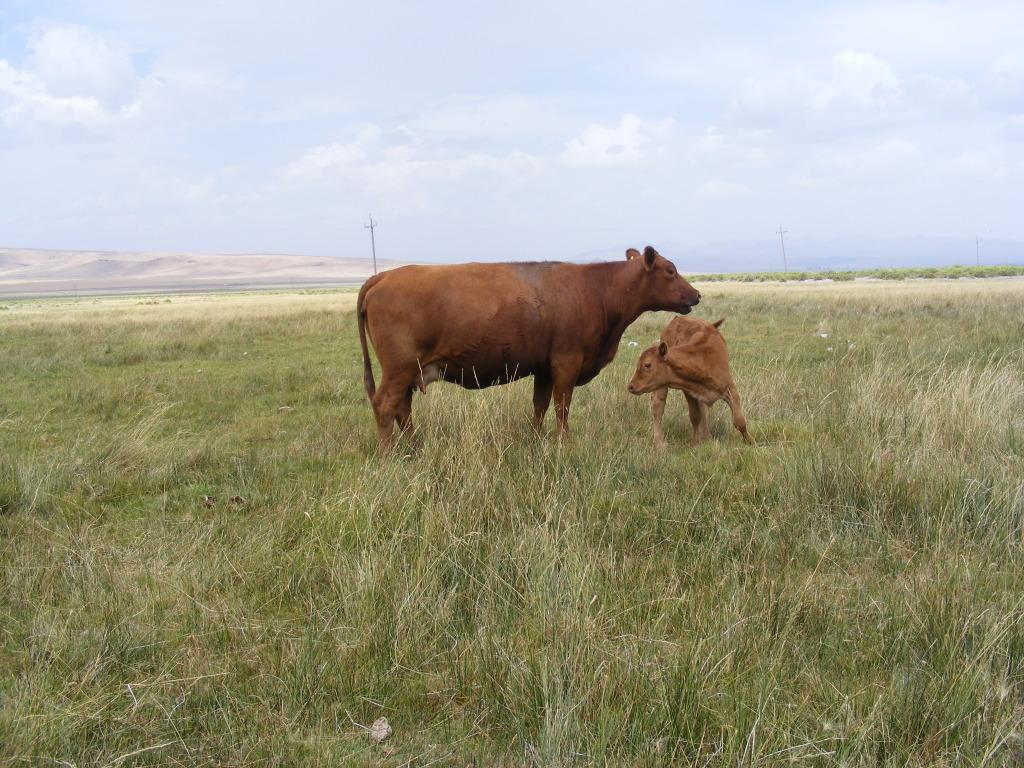 most productive cow Waynesstuff006