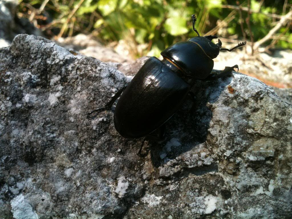 Slike insekata- buba - Page 3 IMG_2127_zpse101f6de