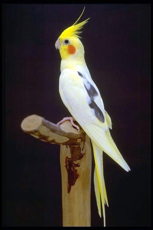 LA CALOPSITE Cockatiel-Pied1