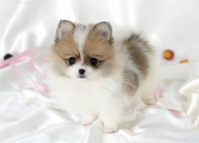 Taichi Fukuoka Tea-cup-pomeranian-purebreed-puppies-4f67d78d6a80a9af21f4