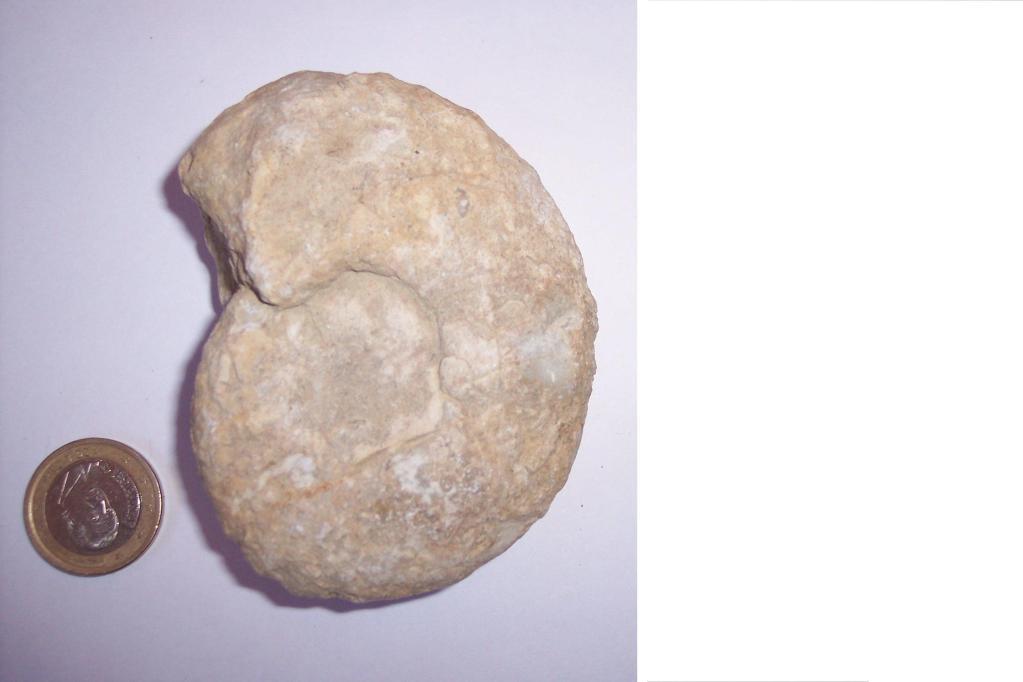 Photos of fossils to change. KnemiocerasSyriacum-CretcicoSuperiorCenomaniense-HortezuelosBurgos6-1