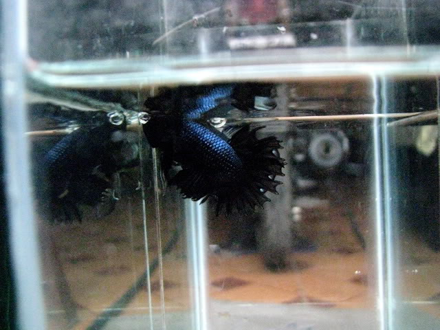 Black Melano Crowntail IMG_36640