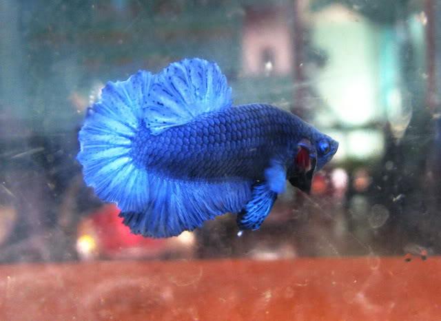 Royal Blue Full Mask (Super Bleu) IMG_6661