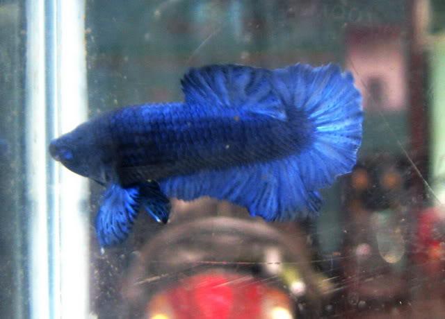 Royal Blue Full Mask (Super Bleu) IMG_6667
