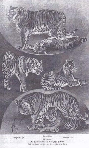 TIGRE - panthera tigris - Page 5 Caspianamatschie
