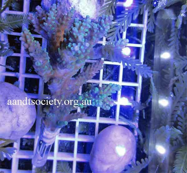 Fraging corals,spike style. Frag8-