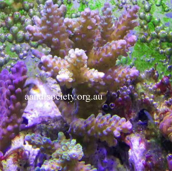 Fraging corals,spike style. Frag9-