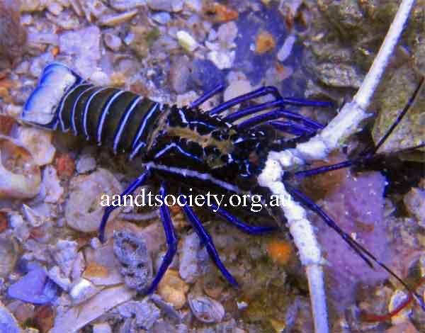 Panulirus ornatus or painted crayfish and Panulirus longipes bispinosus or coral cray fish  . Juvenile-painted-cray-