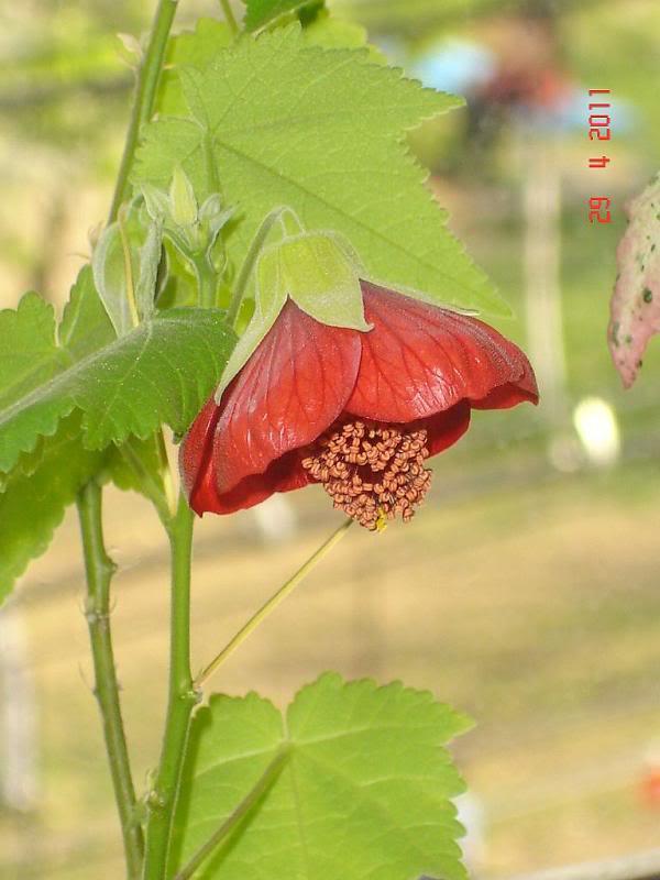 Abutilon forumul-florilor - Pagina 2 DSC01396