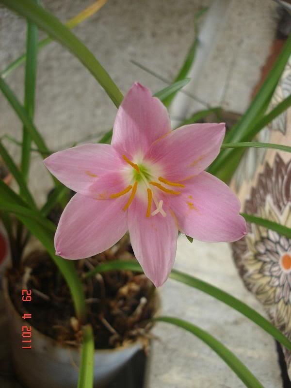 Zephyrantes grandiflora (floarea zefirului) forumul-florilor Lena - Pagina 2 DSC01391