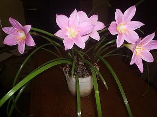 Zephyrantes grandiflora (floarea zefirului) forumul-florilor Lena - Pagina 2 P1012214