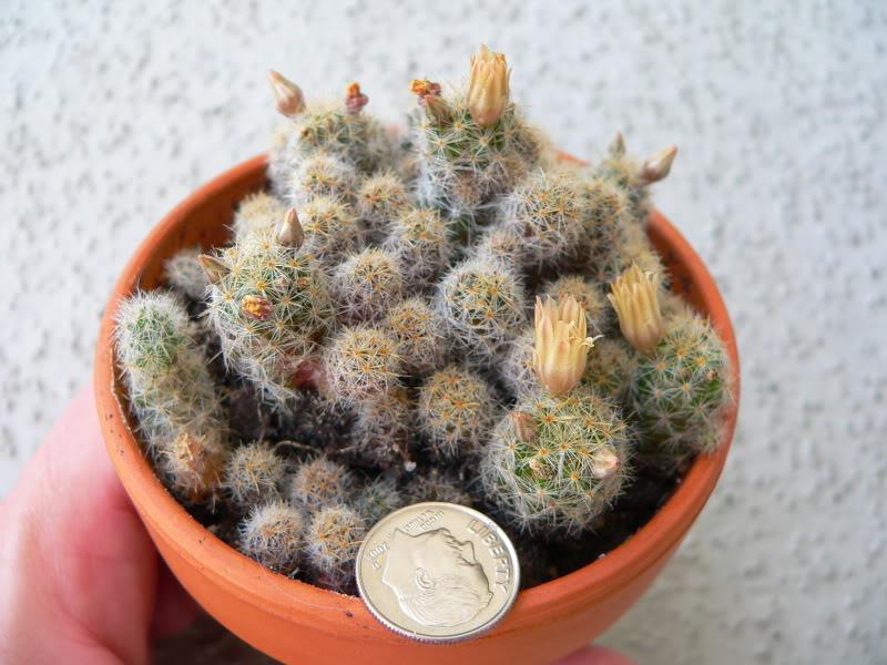Tiny M. prolifera? P1200433