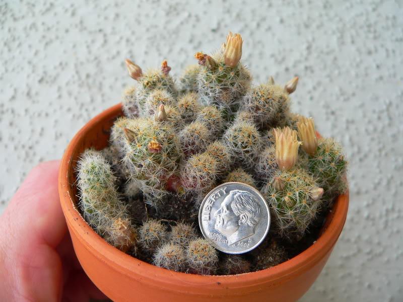 Tiny M. prolifera? P1200436