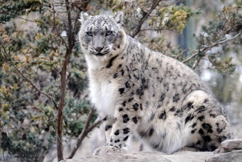 Embry Haynes Overseeing_snow_leopard_by_8twilightangel8-d3e146r