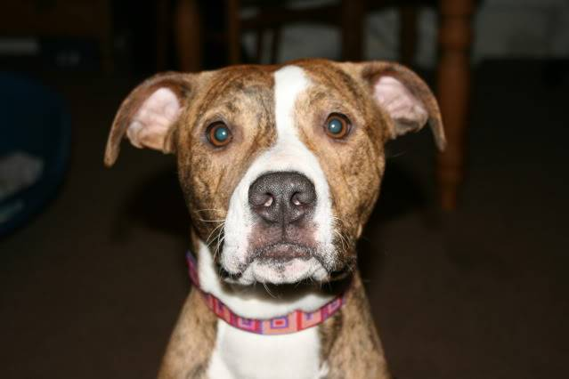 Tiger-Lily, American Bulldog x with WHAD West Kent Tiger-Lily91110005