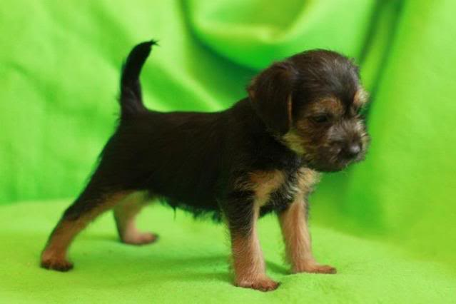 Border Terrier X pups, ready in 2 weeks, rehoming in Kent only. Bailey_zps5da726d0